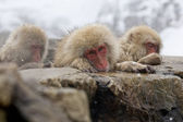 Sad Snow Monkey — Stock Photo