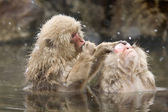 Snow monkeys grooming in hot spring — Stock Photo