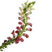 Bicolor Flower — Stock Photo