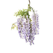 Branch of Wisteria Tree — Stock Photo