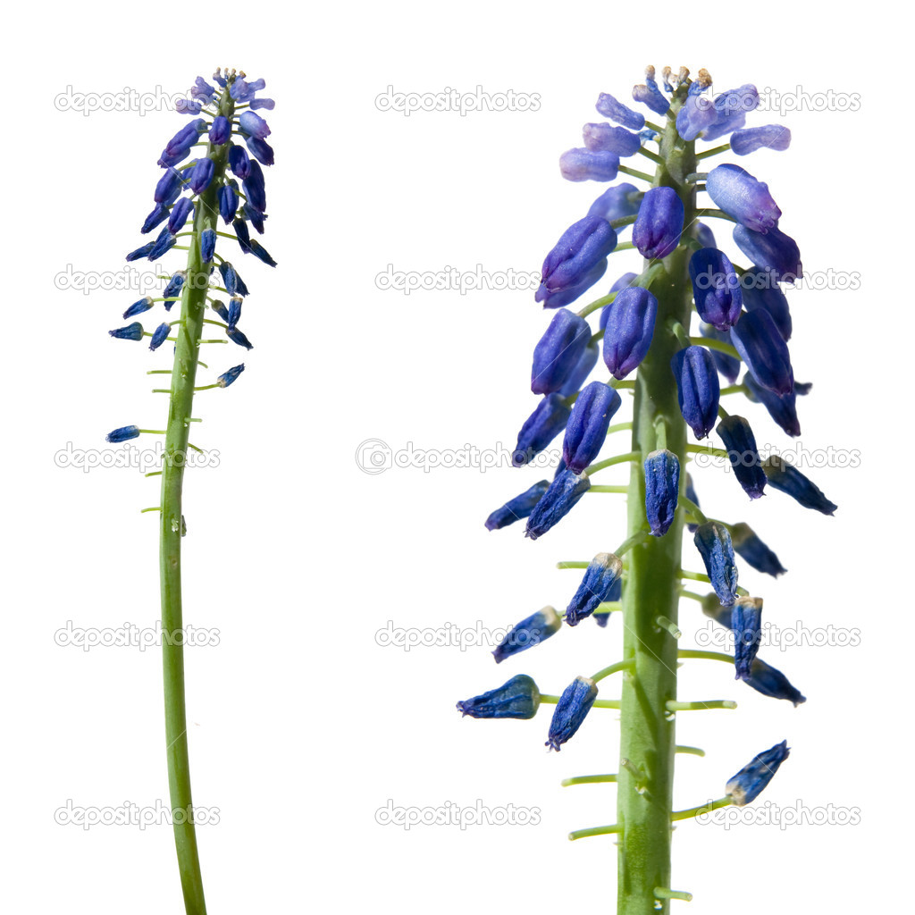 Beautiful grape-hyacinth flowers isolated on pure white.  Stock Photo #18393945