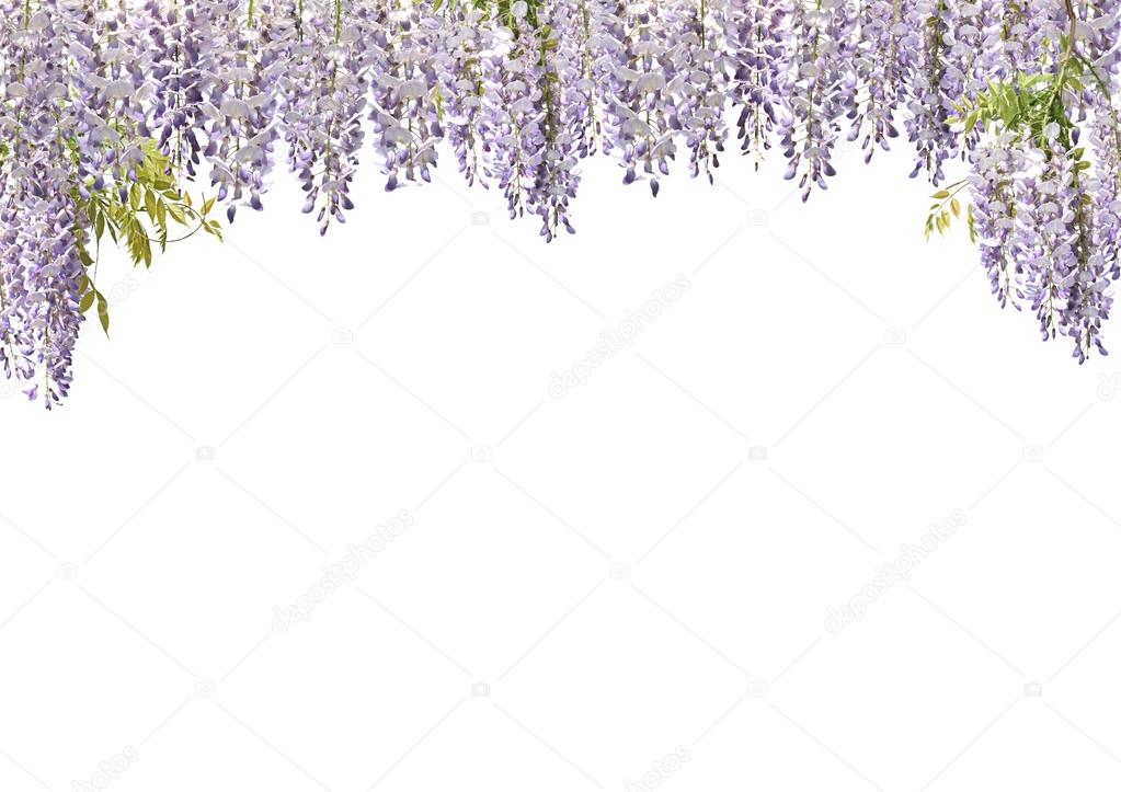 Wisteria Flower Curtains Stock Photo 169 Newt969 18394009