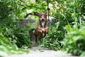 Running Dachshund — Stock Photo