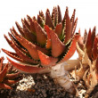 Red Succulent Plant — Stock Photo #18505885