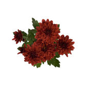 Crimson Chrysanthemum Flowers — Stock Photo
