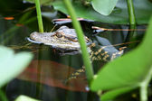 Young Alligator — Stock Photo