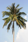 Palm tree-top — Stock Photo