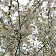 Blooming cherry-tree branches — Stock Photo