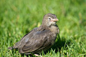 Squab Close-up on green grass background — Photo