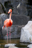 Red Flamingo — Stockfoto