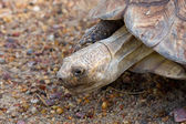 Giant Tortoise — Stock Photo