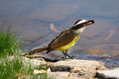 Great Kiskadee (Pitangus sulphuratus) — Stock Photo