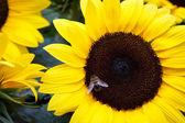 Ayçiçeği Bee — Stok fotoğraf