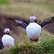 Stock Photo: Proud Puffin