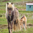 Icelandic Horse and Foal — Stock Photo