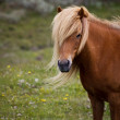 Icelandic Foal - Stock Photo