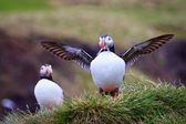 Proud Puffin — Stock Photo