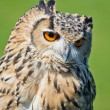 Horned Owl — Stock Photo