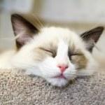 Ragdoll Kitten Sleeping — Stock Photo #21857811