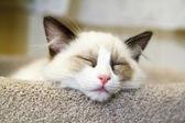 Ragdoll Kitten Sleeping — Stock Photo