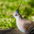 Crested Pigeon — Stock Photo