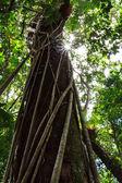 Gigantyczne drzewo z firmą sun w lesie deszczowym — Zdjęcie stockowe