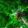 Fan Palm Tree Canopy — Stock Photo