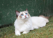 Ragdoll Kitten Watching the Sky — Stock Photo