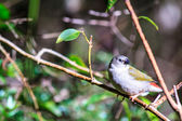 Juvenile Red-Browed Finch — 图库照片