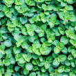 Small Green Leaves Abstract — Stock Photo
