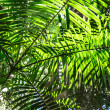 Stock Photo: Palm Tree Canopy