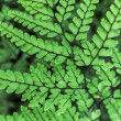Graceful HimalayMaidenhair Frond — Stock Photo #40962803
