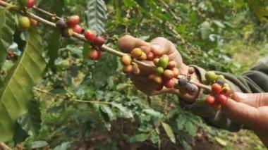 Picking coffee — Stock Video