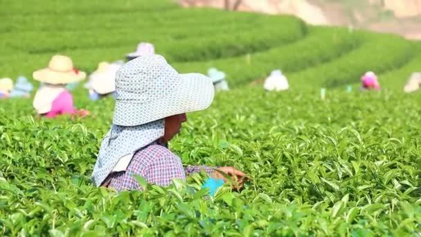 Cosecha de té verde — Vídeo de stock
