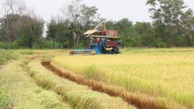 Sklizeň rýže — Stock video