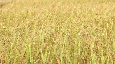Rice in the wind background — Stock Video