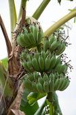 Albero di banane — Foto Stock