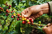 Picking coffee — Stock Photo