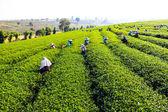 Harvesting green tea — Stock Photo