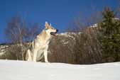 Dog in winter forest — Stock Photo