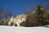 Dog running through snow — Stock Photo