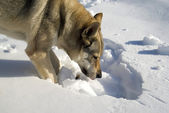 Dog digging in snow — Stock Photo