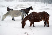 Horses in the snow — 图库照片