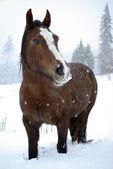 Horse in snow — Stock Photo