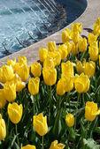 Flowerbed of tulips — Stock Photo