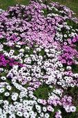 Flowerbed — Foto de Stock