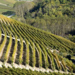 Vineyard in Langhe, Italy — Stock Photo