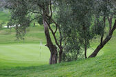 Olive tree at golf course — Stock Photo