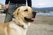 Labrador on leash — Stock Photo