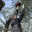Olive pruning — Stock Photo